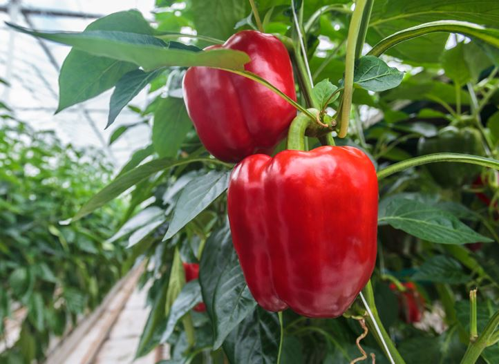 Optimal growing conditions for peppers | Netafim